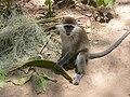 Affe in Äthiopien.JPG