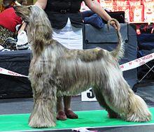 afghan hound wikipedia