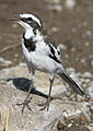 African Pied Wagtail, Motacilla aguimp in Kruger National Park (20326741691).jpg