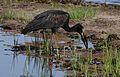 African openbill, Anastomus lamelligerus, Chobe National Park, Botswana (32013318640).jpg