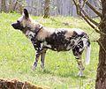Afrikanischer Wildhund Lycaon pictus Tierpark Hellabrunn-3.jpg