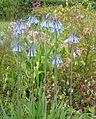Agapanthus inapertus - Flickr - peganum.jpg