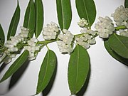 Agarista populifolia 2