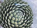 Agave victoriae-reginae (5664104312).jpg