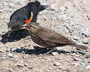 A Red-winged Blackbirds in George C. Reifel Mi...