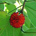 Aggregate fruit of Broussonetia.jpg