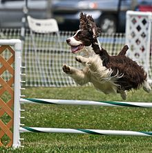 Agility Shows For Dogs On Internet