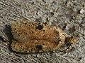 Agonopterix propinquella (40813756602).jpg