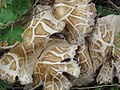 Agrocybe aegerita gljiva (1).jpg