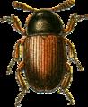 Agyrtes castaneus Jacobson.png
