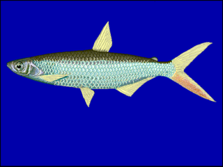 <i>Alestes baremoze</i> species of fish