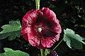 Alcea rosea purple.jpg
