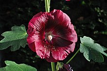 Alcea rosea purple.jpg