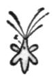 Alger, Chloraster gyrans, Nordisk familjebok.png