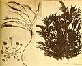 Alghe di Australia, Tasmania e Nuova Zelanda raccolte dal rev. dott. Giuseppe Capra nel 1908-1909 (1922) (17762186298).jpg