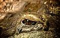 Aligator (2408908339).jpg