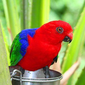 Moluccan king parrot - At Brevard Zoo