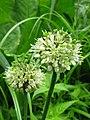 Allium ochotense 4.jpg