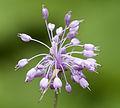 Allium olympicum - Uludag Onion - Uludağ soğanı 3.jpg