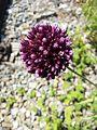 Allium rotundum sl32.jpg