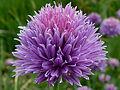 Allium schoenoprasum J1.JPG