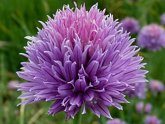 Chives - Image: Allium schoenoprasum J1