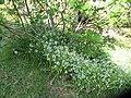 Allium triquetrum L. (AM AK328306-2).jpg