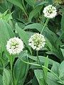 Allium victorialis Czosnek siatkowaty 2010-05-29 04.jpg