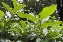 Laurus nobilis wikipedia for Alloro siepe