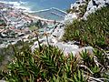 Aloe commixta above Kalk Bay harbour.jpg