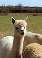 Alpaca in The Rodings, Essex, England 07.jpg