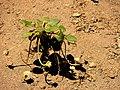 Alpine buckwheat (9a8e9e8b1e954a81b31528d41334fca3).JPG