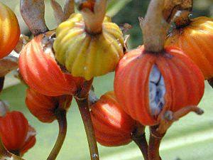 Alpinia zerumbet - Image: Alpinia zerumbet pods