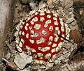 Amanita muscaria (Fly Agaric) - Flickr - S. Rae (4).jpg
