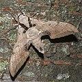 Ambulyx kuangtungensis (14950074020) crop.jpg