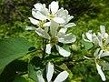 Amelanchier alnifolia (7399107218).jpg