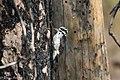 American Three-toed Woodpecker Signal Burn Gila NF NM 2017-10-18 09-04-11-2 (25207407068).jpg