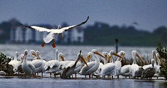American white pelican - American white pelicans gathering at Pelican Island National Wildlife Refuge in Florida. Brown pelicans can also be seen in center, and at left and right margins.