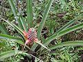 Ananas comosus (5598504112).jpg