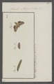 Anarta - Print - Iconographia Zoologica - Special Collections University of Amsterdam - UBAINV0274 057 16 0002.tif