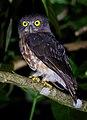 Andaman Hawk-Owl (cropped).jpg