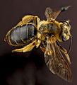 Andrena hilaris, F, back, Maryland, Anne Arundel County 2012-12-14-14.19.46 ZS PMax (8284641600).jpg