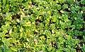 Androsace sarmentosa in La Jaysinia (4).jpg