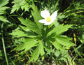 Anemone canadensis.PNG