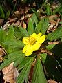 Anemone ranunculoides flower2.jpg