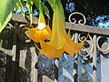 Angel's Trumpet Flower and Fence.jpg