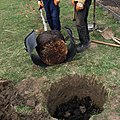 Animal manure in planting hole.jpg
