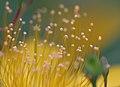 Another angle of Hypericum Chinense - Flickr - joka2000.jpg