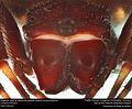 Anterior view of Spiny orb-weaver (Genus Gasteracantha) (22486399789).jpg