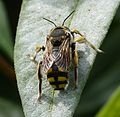Anthidium species . ( florentinum^ ). Megachilidae - Flickr - gailhampshire.jpg